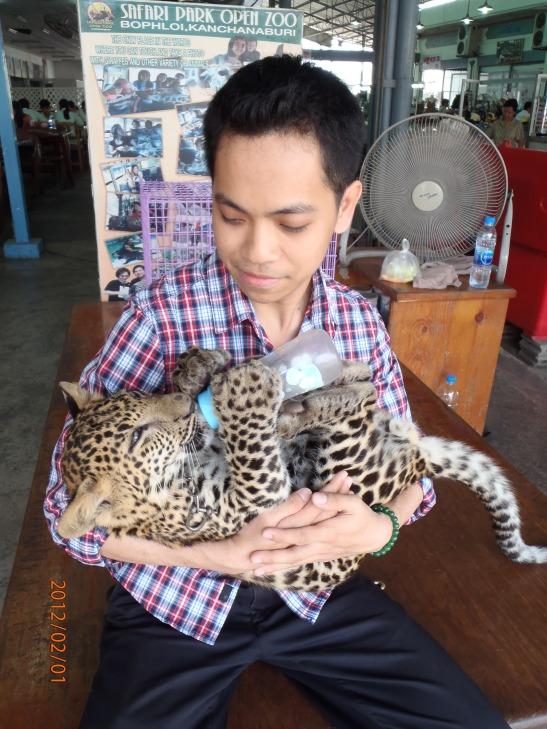 Feeding a young leopard