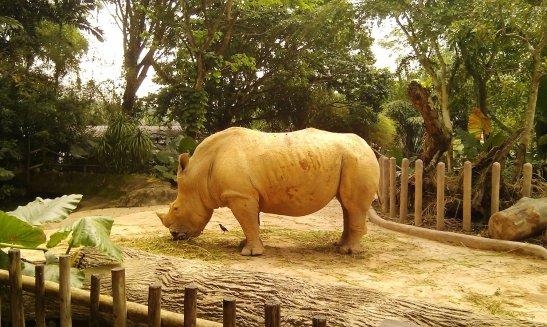 A majestic rhinoceros