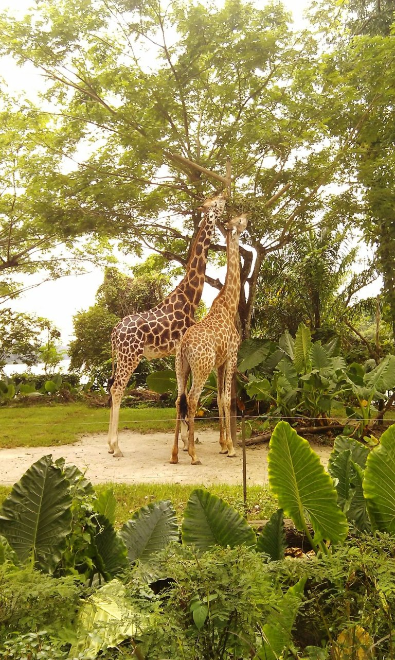 A tall order for this giraffe couple