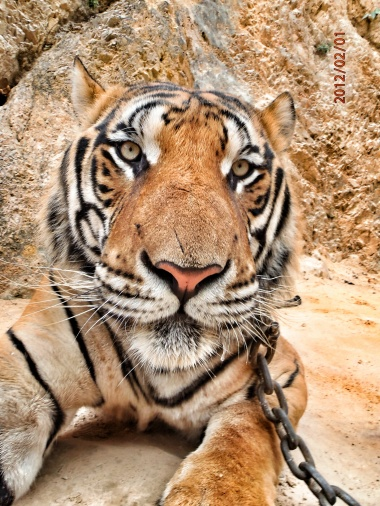Face of a fierce but adorable tiger!